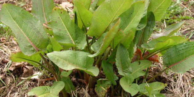 Съедобные растения: Щавель