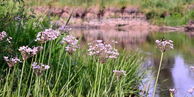 Съедобные растения: Сусак (якутский дикий хлеб)