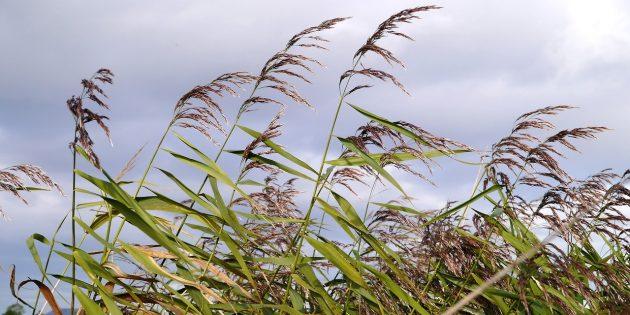 Съедобные растения: Тростник