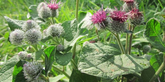 Съедобные растения: Лопух