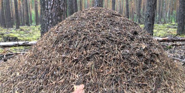 Кислые соломинки из муравейника