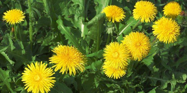 Съедобные растения: Одуванчик