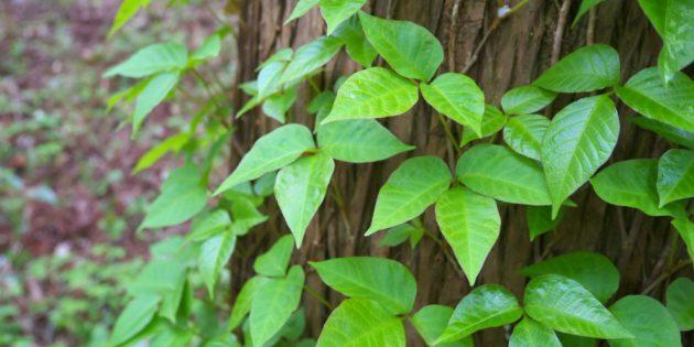 опасные растения