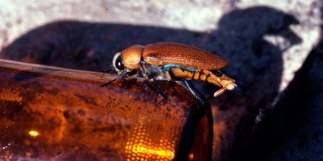 Шнобелевская премия: жук-древоточец