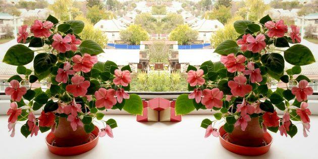 Неприхотливые комнатные растения: Бальзамин