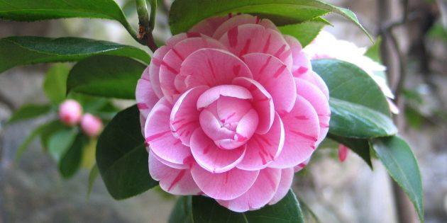 Неприхотливые комнатные растения: Камелия японская