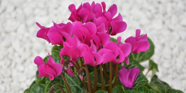Неприхотливые комнатные растения: Цикламен персидский