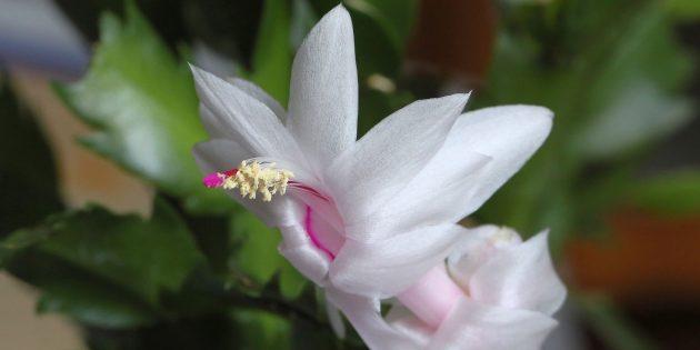 Неприхотливые комнатные растения: Декабрист