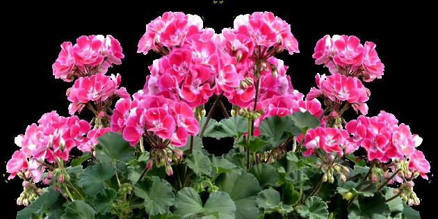 Неприхотливые комнатные растения: Пеларгония