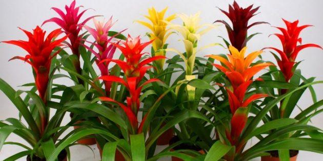 Неприхотливые комнатные растения: Гусмания