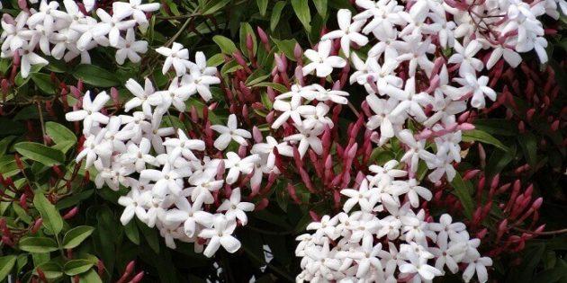 Неприхотливые комнатные растения: Комнатный жасмин