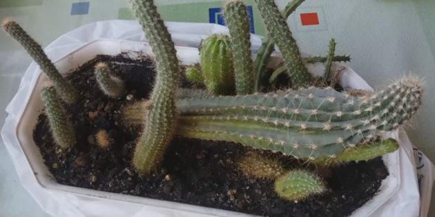 Как ухаживать за кактусом: Деформация из-за недостатка света