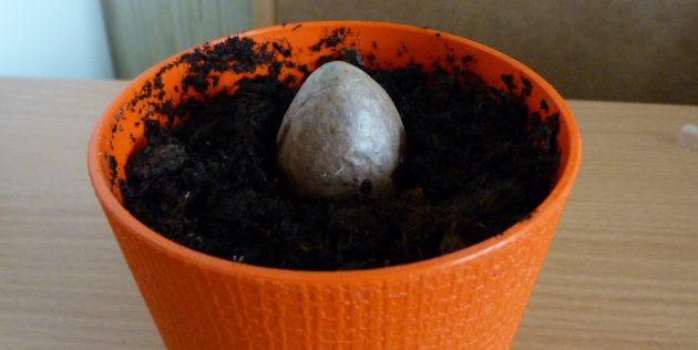 Как вырастить авокадо из косточки: Косточка в горшке