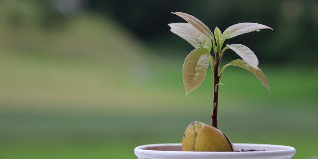 Как вырастить авокадо из косточки: Всходы