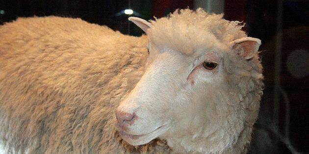клонирование: овечка долли