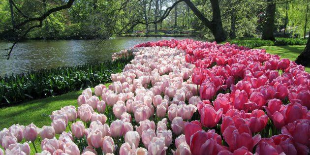 Куда поехать в Европе: Сад Кёкенхоф, Нидерланды