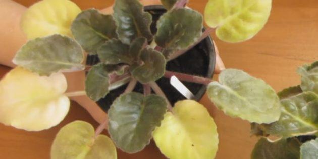 Как ухаживать за фиалками: пожелтение листьев