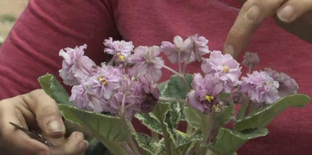Как ухаживать за фиалками в период цветения