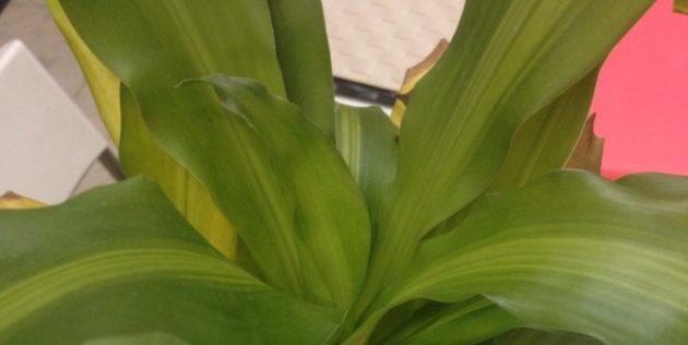 Как ухаживать за драценой, если бледнеют пёстрые листья