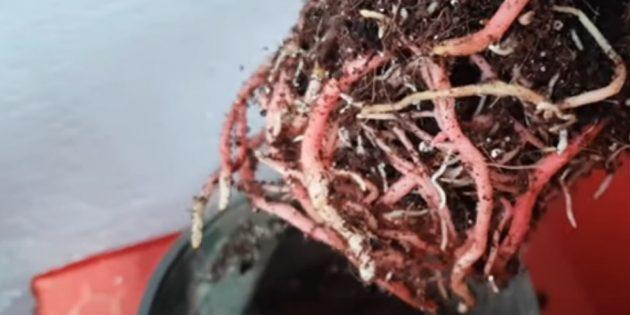 В слишком просторном горшке антуриум начнёт наращивать корни и долго не будет цвести