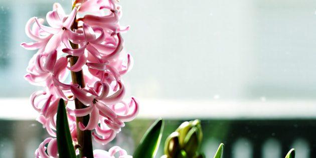 Для желающих вырастить гиацинт уход за ним — тема актуальная и животрепещущая: как ухаживать за гиацинтом во время цветения