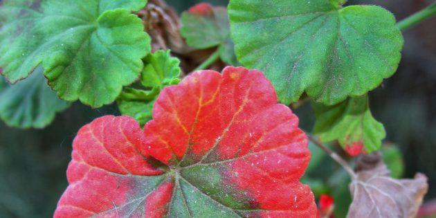Как лечить герань, если краснеют листья