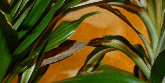 Как ухаживать за драценой, если cохнут кончики и края листьев