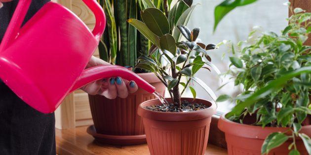 Фикус комнатный цветок: уход в домашних условиях. Приметы. Куда поставить