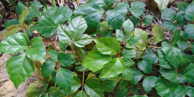 Тенелюивые комнатные растения: циссус