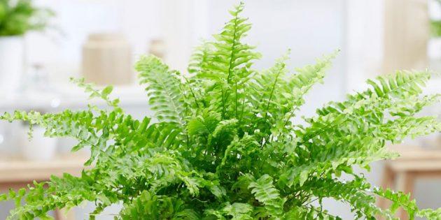 Тенелюбивые комнатные растения: нефролепис