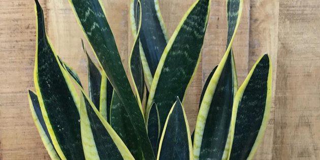 Тенелюбивые комнатные растения: сансевиерия трёхполосная