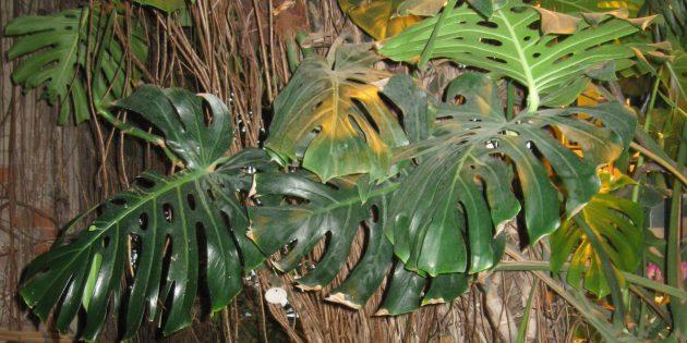Тенелюбивые комнатные растения: монстера