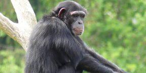 Видео дня: обезьяна листает Instagram на iPhone, выбирая видео со своим участием