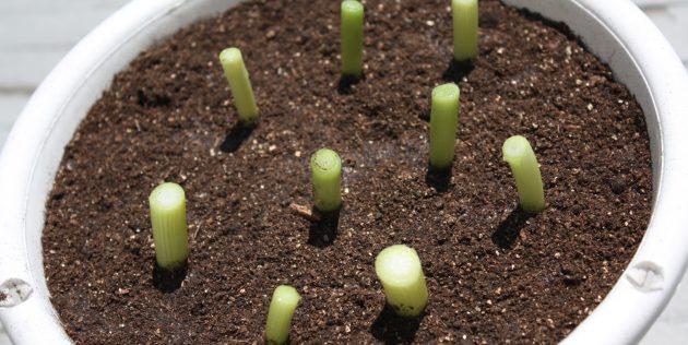 Как вырастить лук на подоконнике: Лук сразу после посадки в землю