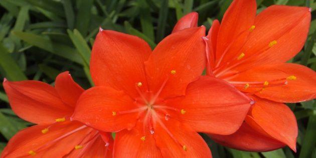 Комнатные луковичные цветы: валотта