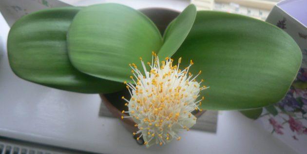 Комнатные луковичные цветы: гемантус