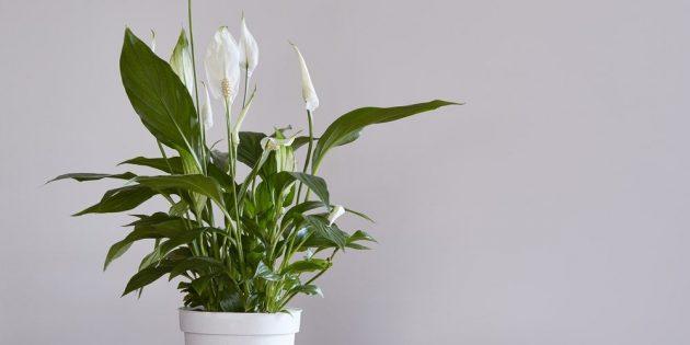 Неприхотливые растения: спатифиллум