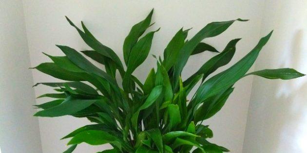Тенелюбивые комнатные растения: аспидистра