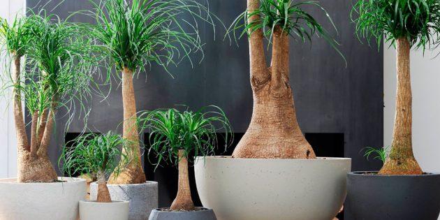 Неприхотливые растения: нолина