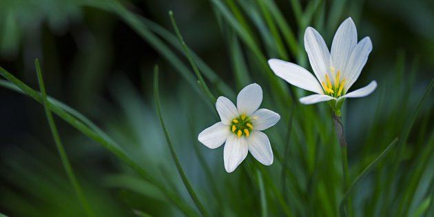 Комнатные луковичные цветы: зефирантес