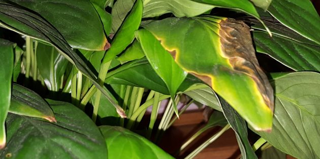 Уход за спатифиллумом в домашних условиях: Как лечить спатифиллум, если появились пятна на листьях