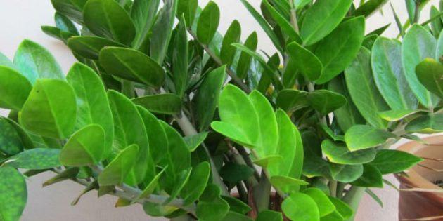 Тенелюбивые комнатные растения: замиокулькас