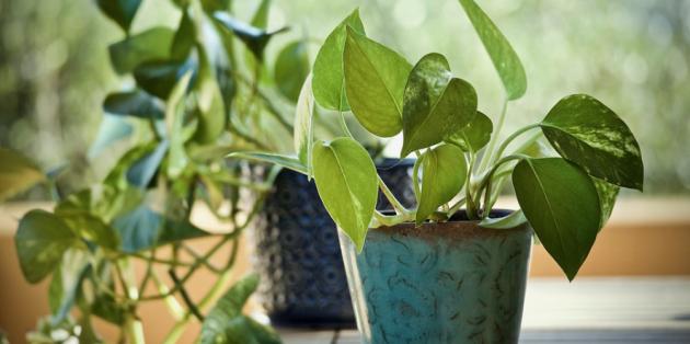 Неприхотливые растения: эпипремнум золотистый