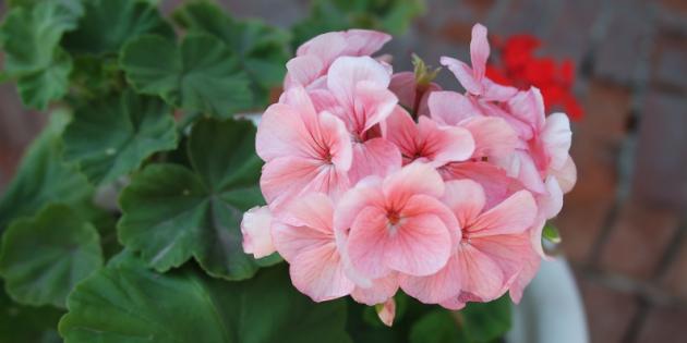 Неприхотливые растения: пеларгония