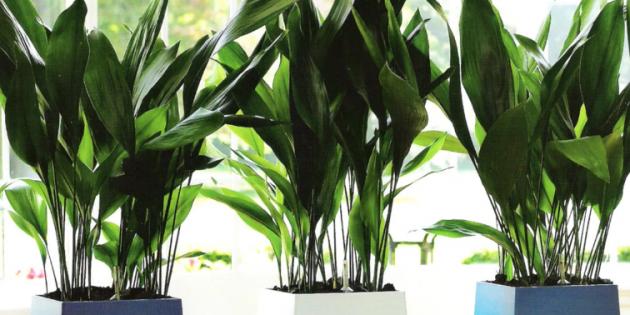 Неприхотливые растения: аспидистра