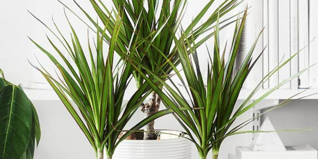 Неприхотливые растения: драцена окаймленная