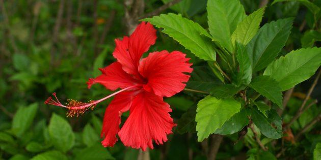 Неприхотливые растения: гибискус
