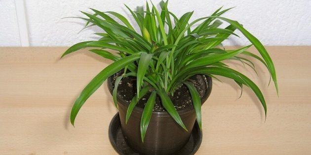 Тенелюбивые комнатные растения: хлорофитум