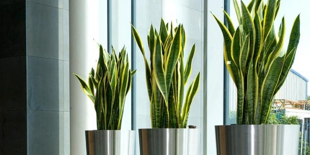 Неприхотливые растения: Сансевиерия