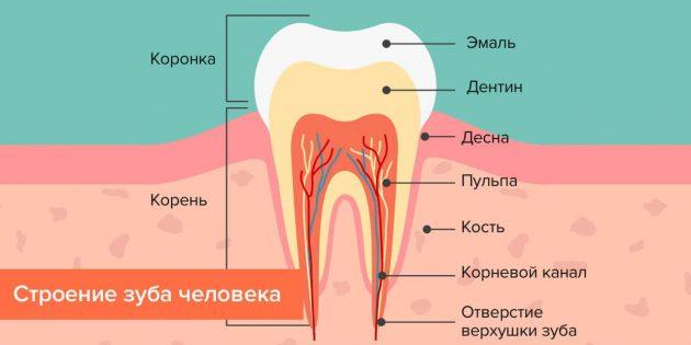 Откуда берётся кариес: Строение зуба человека